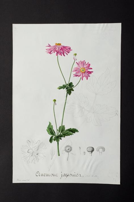 Anemone japonica @ Université de Montpellier - Yannick Fourié