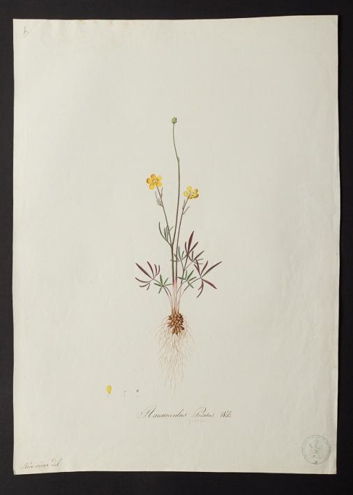 Ranunculus pedatus  © Université de Montpellier - Yannick Fourié