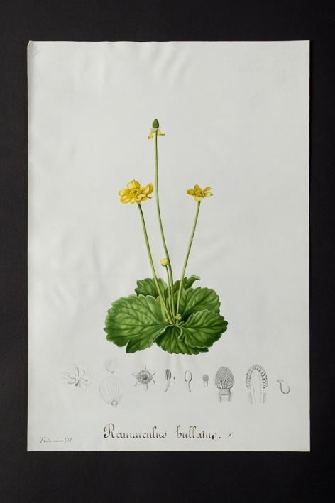 Ranunculus bullatus © Université de Montpellier - Yannick Fourié