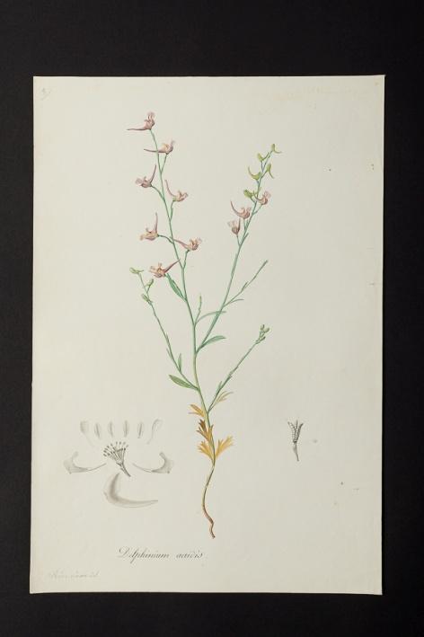 Delphinium aeridis © Université de Montpellier - Yannick Fourié