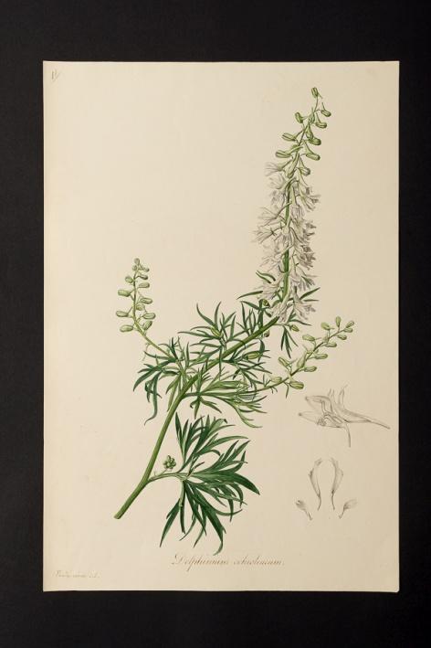 Delphinium ochroleucum © Université de Montpellier - Yannick Fourié
