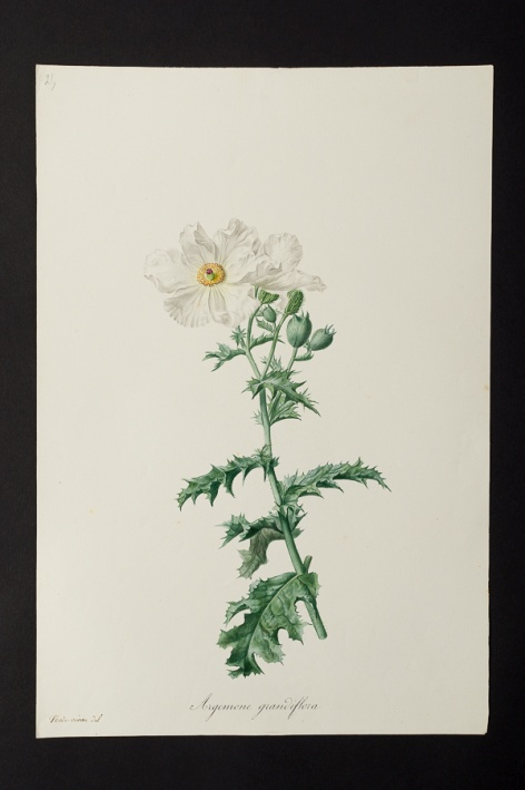 Argemone grandiflora @ Université de Montpellier - Yannick Fourié