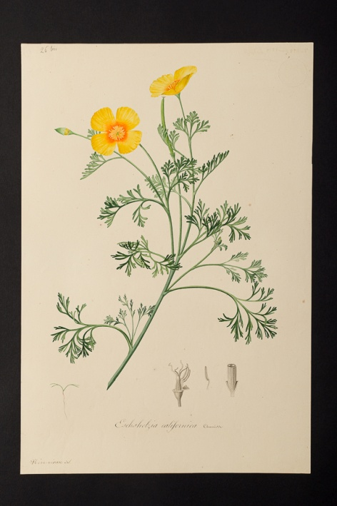 Eschsholzia californica @ Université de Montpellier - Yannick Fourié