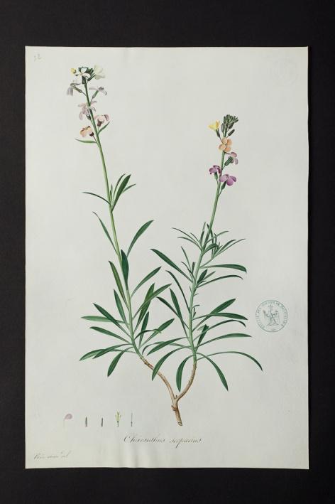 Cheiranthus scoparius @ Université de Montpellier - Yannick Fourié