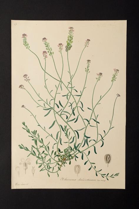 Aethionema clandestinum @ Université de Montpellier - Yannick Fourié