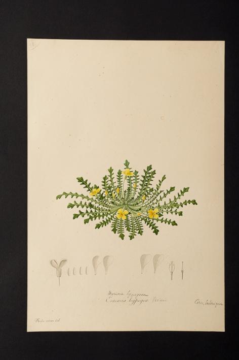 Erucaria hypogea @ Université de Montpellier - Yannick Fourié