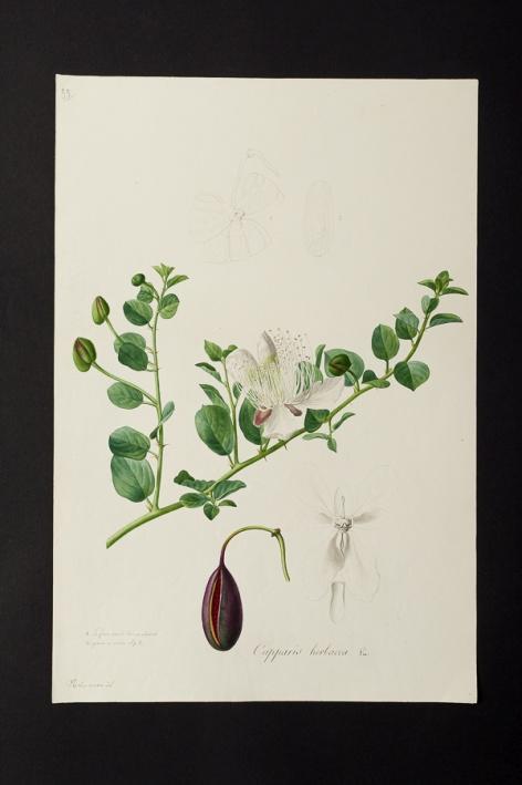 Capparis herbacea @ Université de Montpellier - Yannick Fourié