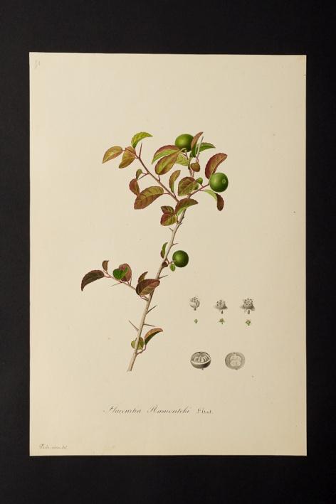 Flacourtia ramontchi @ Université de Montpellier - Yannick Fourié