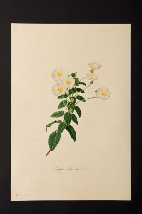 Cistus corbariensis @ Université de Montpellier - Yannick Fourié