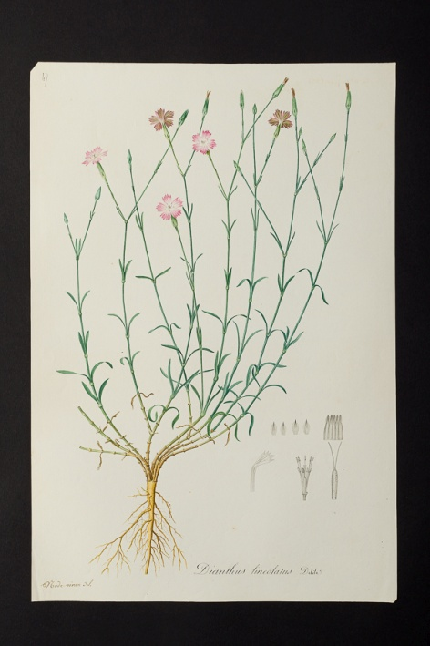 Dianthus lineolatus @ Université de Montpellier - Yannick Fourié