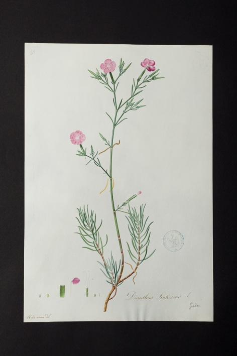 Dianthus fruticosus @ Université de Montpellier - Yannick Fourié