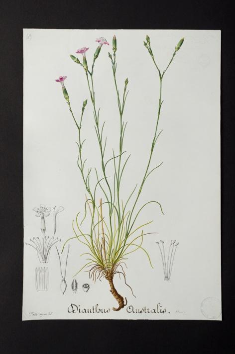 Dianthus australis @ Université de Montpellier - Yannick Fourié