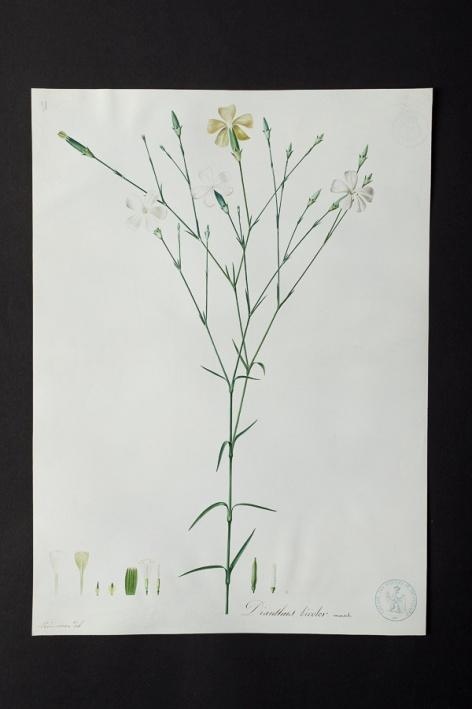 Dianthus bicolor @ Université de Montpellier - Yannick Fourié