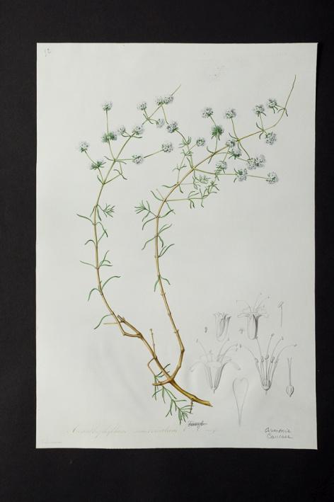 Acanthophyllum mucronatum @ Université de Montpellier - Yannick Fourié
